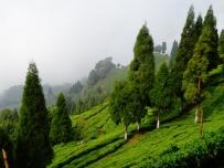 Inde - Plantation de the du Sikkim
