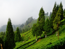 Inde - Plantation de the du Sikkim