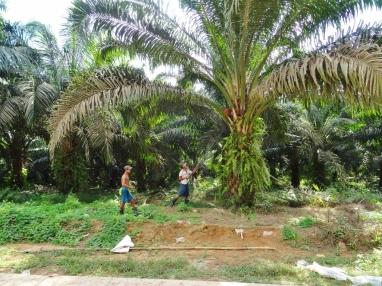 Récolte sur palmier à huile