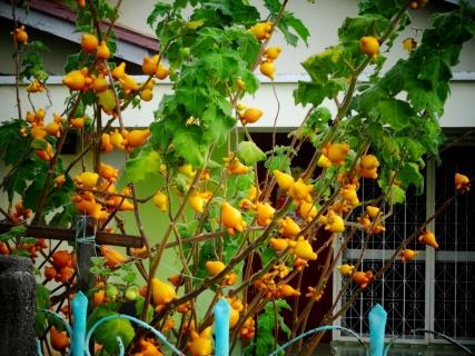Nouveaux fruits totalement inconnus