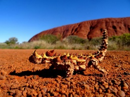 Australie - Le Thorny devil, ou Diable cornu Australien