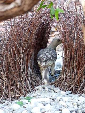 Australie - Nid d'oiseau-lyre