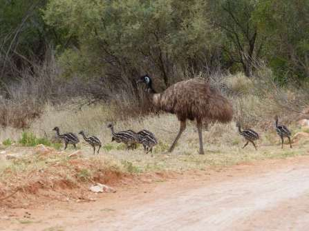 Australie - Émeus en famille